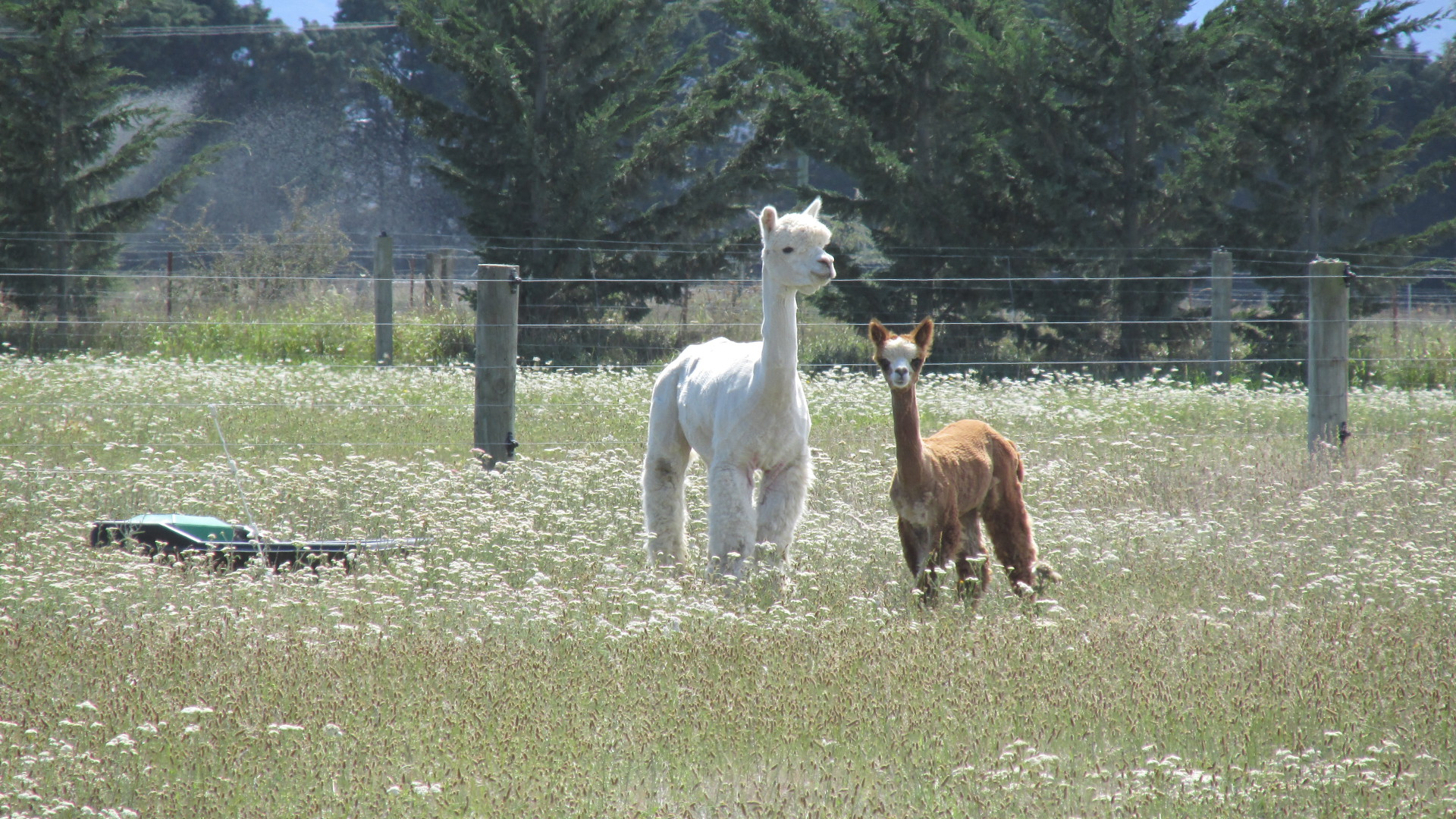 Alpaca Family - Eyreview Retreat